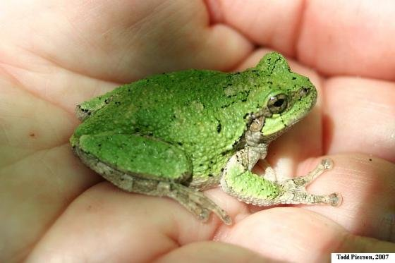 hyla versicolor frog literature review