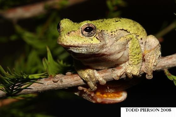 Hyla versicolor frog literature review music hi rez the thesis