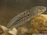 Tadpole from Jefferson County