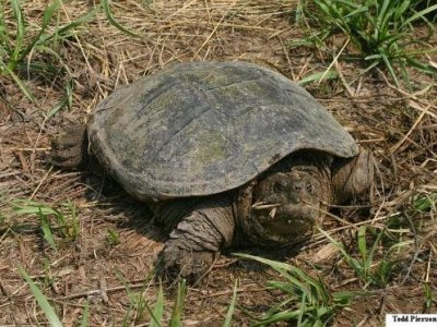 Eastern Snapping Turtle (Chelydra serpentina)