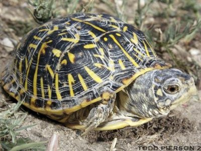 Ornate Box Turtle (Terrapene ornata)