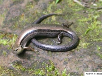 Ground Skink (Scincella lateralis)