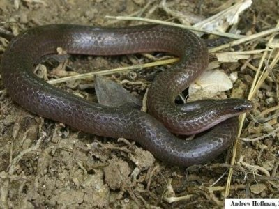 Eastern Wormsnake (Carphophis amoenus)