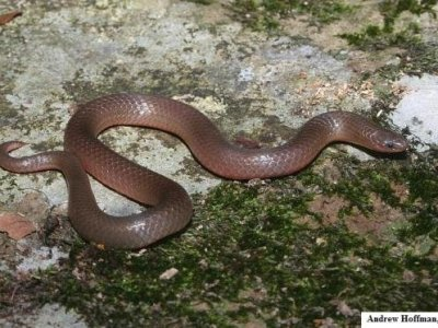 Common Wormsnake (Carphophis amoenus)