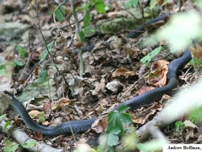 Eastern Racer (Coluber constrictor)