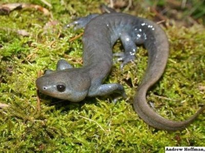 Jefferson's Salamander (Ambystoma jeffersonianum)