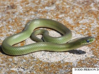 Smooth Greensnake (Opheodrys vernalis)