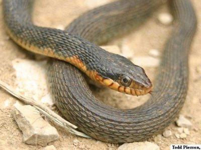Plain-bellied Watersnake (Nerodia erythrogaster)