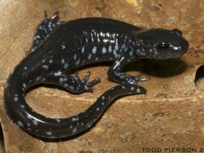 Blue-spotted Salamander (Ambystoma laterale)
