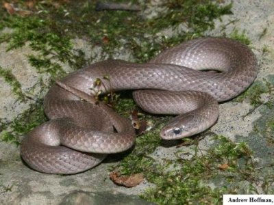 Smooth Earthsnake (Virginia valeriae)