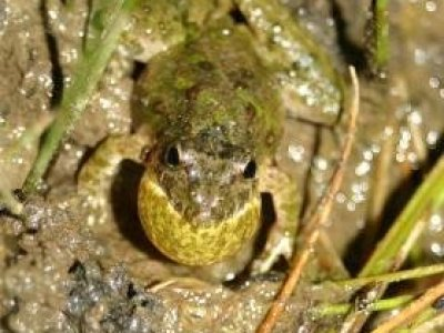 Northern Cricket Frog (Acris crepitans)