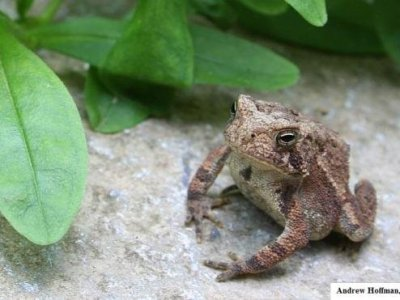 American Toad (Anaxyrus americanus)