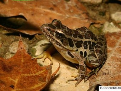 Pickerel Frog (Rana palustris)