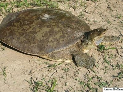 Spiny Softshell (Apalone spinifera)